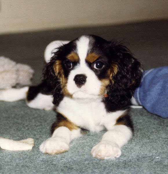Cavalier King Charles Spaniel Breeder Breeders Puppies