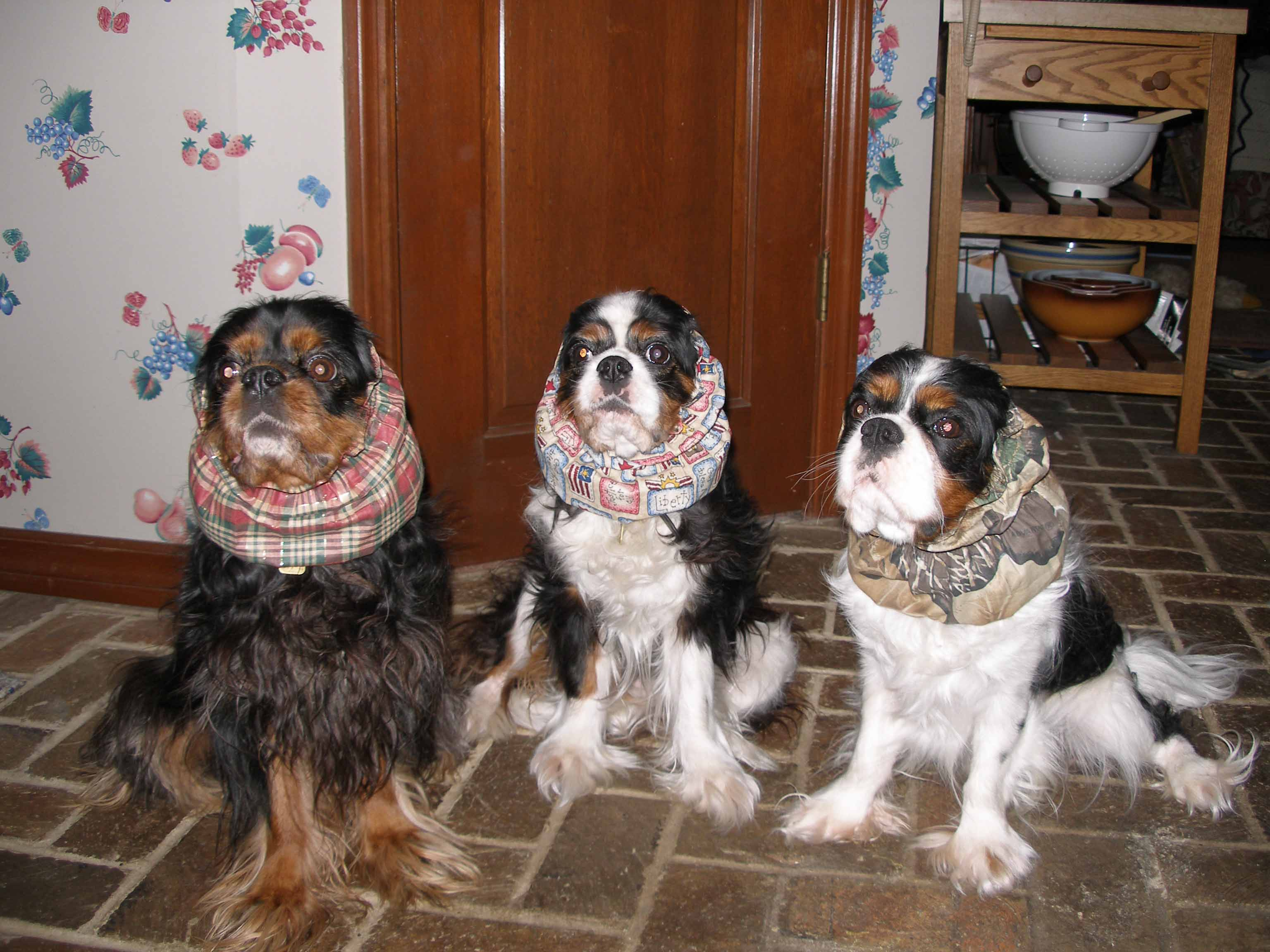 Adult cavalier king charles spaniels for sale opinion