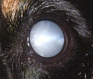 ... of inherited cataract which has been identified in cavaliers is  congenital, meaning that it was present at and existing from the time of  birth or before ...
