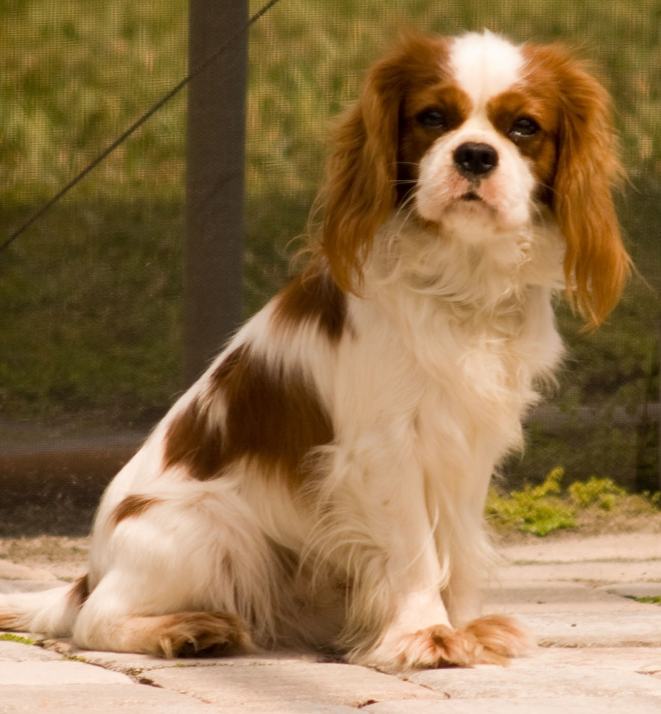 Image of: Airlines Cavalier Health Cavalier King Charles Spaniels Miscellaneous Disorders